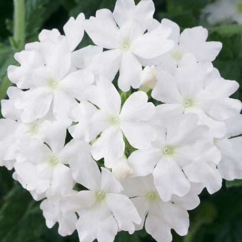 Lanai® Blush White - Verbena | Proven Winners