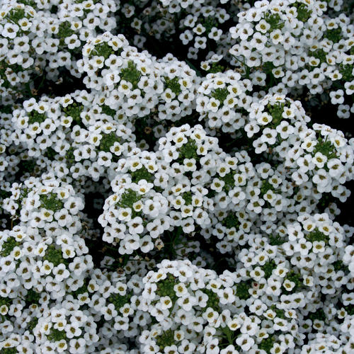 Snow Princess® - Sweet Alyssum - Lobularia hybrid