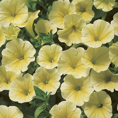 Surfinia® Patio Yellow - Petunia hybrid