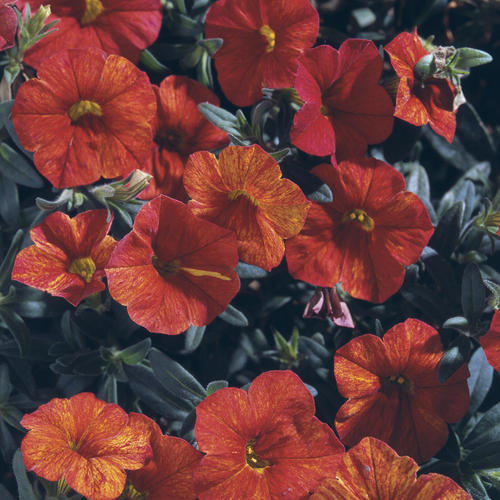 Million Bells® Crackling Fire - Calibrachoa hybrid