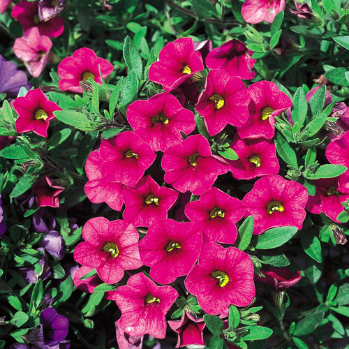Million Bells® Cherry Pink - Calibrachoa hybrid