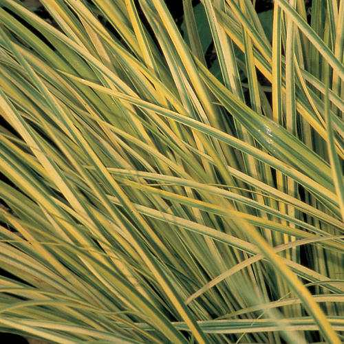 Ogon - Golden Variegated Sweet Flag - Acorus gramineus