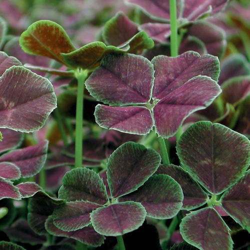 Dark Dancer™ - White Clover - Trifolium repens 'Atropurpureum'