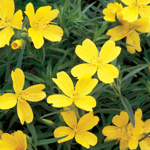 Lemon Drop® - Primrose - Oenothera species
