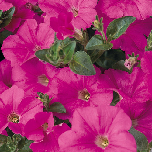 Supertunia® Trailing (Formerly Mini) Bright Pink - Petunia hybrid