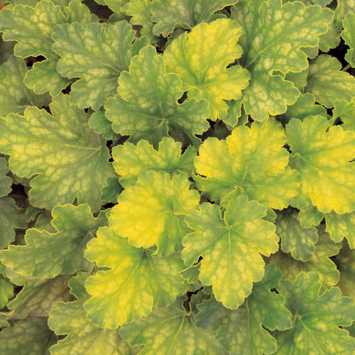 Key Lime Pie - Coral Bells - Heuchera hybrid shade plant grow