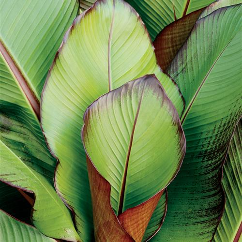 Red Banana - Ensete maurelii
