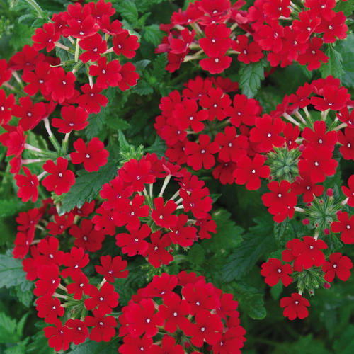 Tukana® Scarlet - Verbena hybrid