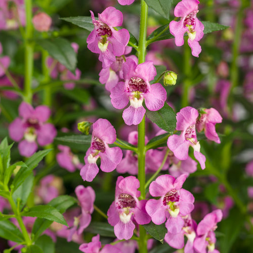 Angelface® Super Pink - Summer Snapdragon - Angelonia hybrid