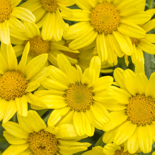 Golden Butterfly™ - Marguerite Daisy - Argyranthemum frutescens
