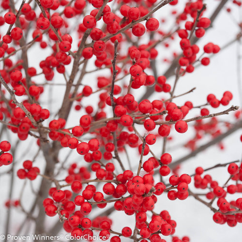 Berry Poppins® - Winterberry - Ilex verticillata