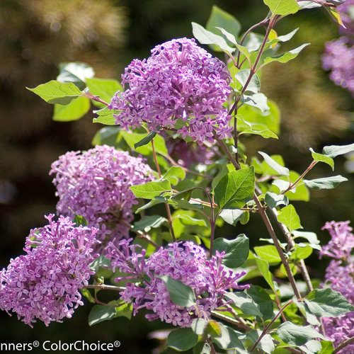 Bloomerang® Purple - Reblooming Lilac - Syringa x