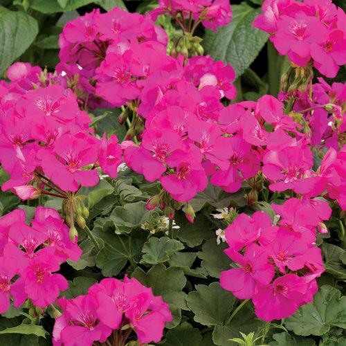 Geraniums mature size