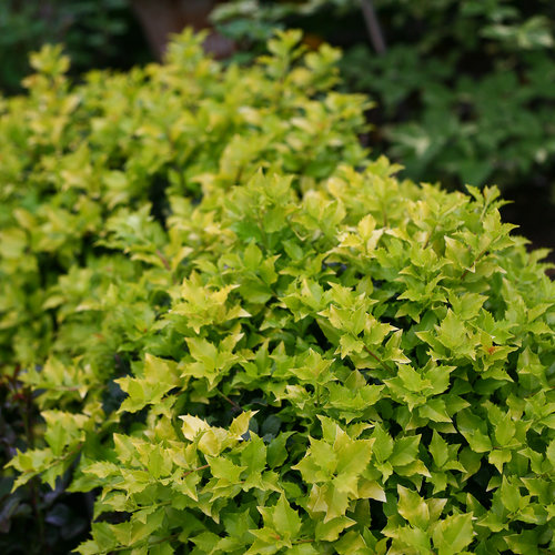 Castle Gold™ - Blue Holly - Ilex x meserveae
