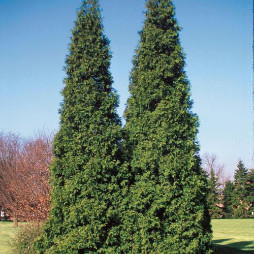 Spring Grove® - Western Arborvitae - Thuja plicata
