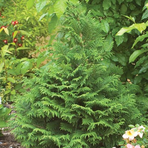 Soft Serve® - False Cypress - Chamaecyparis pisifera