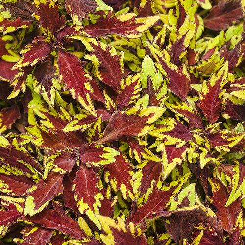 colorblaze® apple brandy®  coleus  solenostemon scutellarioides, Beautiful flower