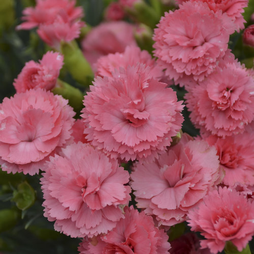 Fruit Punch 174 Classic Coral Pinks Dianthus Hybrid