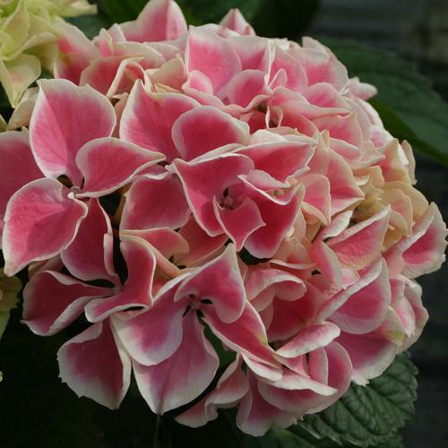 Edgy® Hearts - Bigleaf hydrangea - Hydrangea macrophylla