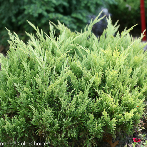 Good Vibrations® Gold - Juniperus horizontalis