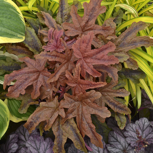 Fun and Games® 'Red Rover' - Foamy Bells - Heucherella hybrid