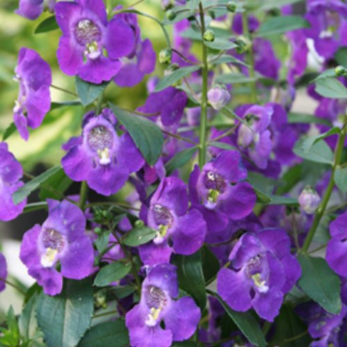 Angelface® Blue - Summer Snapdragon - Angelonia angustifolia
