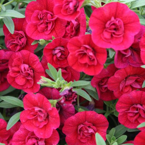 Superbells® Double Ruby - Double Calibrachoa - Calibrachoa hybrid