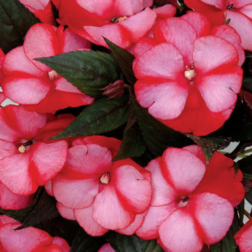 Infinity blushing crimson new guinea impatiens for New guinea impatiens
