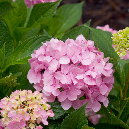Let's Dance® Moonlight - Reblooming Hydrangea - Hydrangea macrophylla