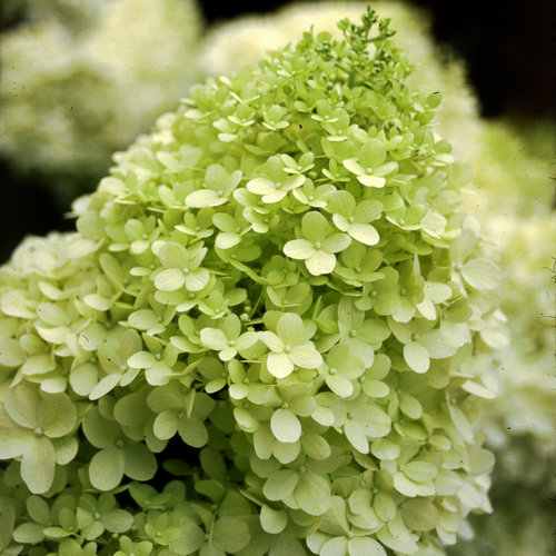 limelight'  panicle hydrangea  hydrangea paniculata  proven winners, Beautiful flower