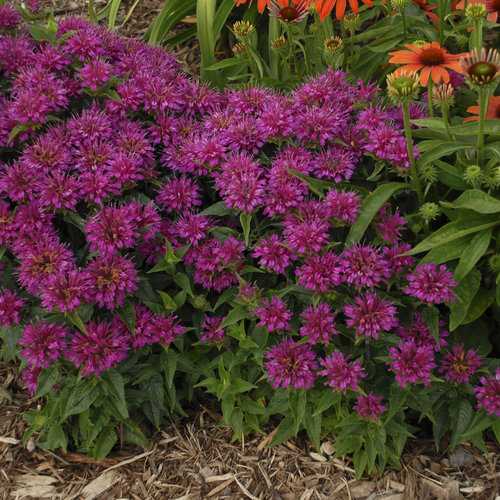 'Pardon My Purple' - Bee Balm - Monarda didyma