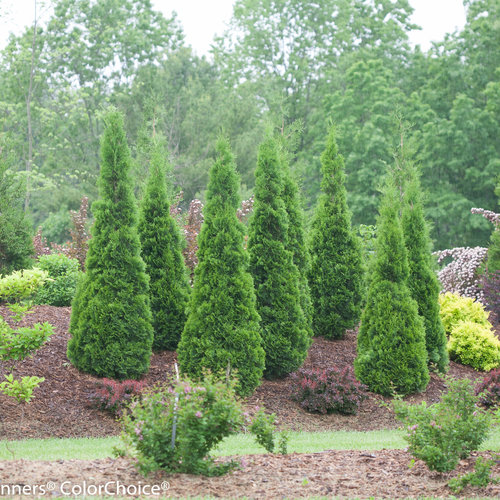 north pole arborvitae thuja occidentalis proven winners. Black Bedroom Furniture Sets. Home Design Ideas
