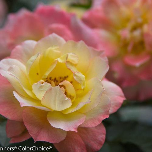 Oso Easy® Italian Ice® - Landscape Rose - Rosa x