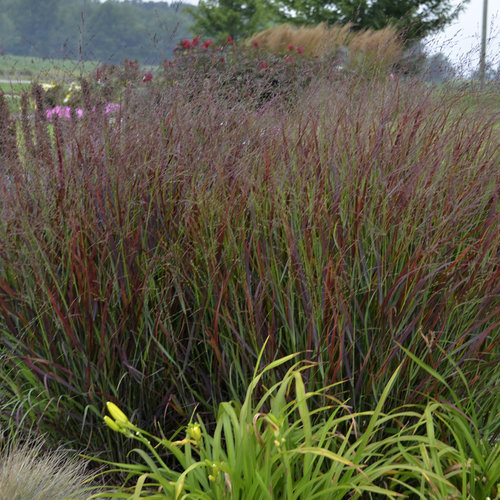 prairie winds 39 cheyenne sky 39 red switch grass panicum virgatum proven winners. Black Bedroom Furniture Sets. Home Design Ideas