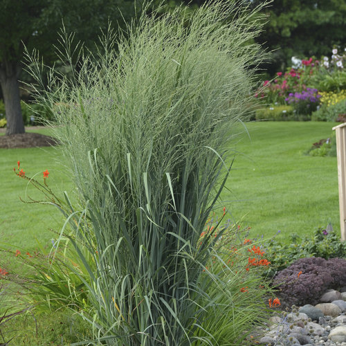 prairie winds 39 totem pole 39 switch grass panicum virgatum proven winners. Black Bedroom Furniture Sets. Home Design Ideas