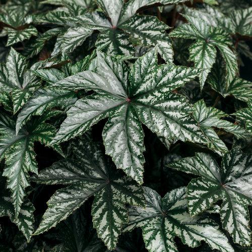 Pegasus® - Begonia hybrid