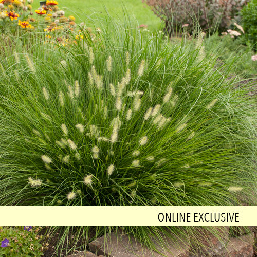 39 little bunny 39 miniature fountain grass pennisetum for Blue fountain grass