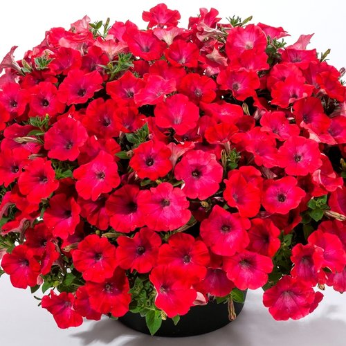 Good and Plenty™ Pomegranate - Petunia hybrid