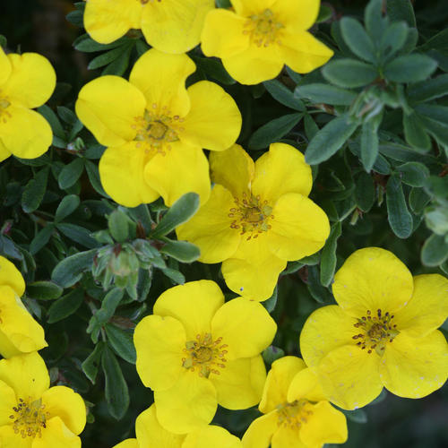 Happy Face® Yellow - Potentilla fruticosa