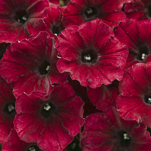 Supertunia 174 Black Cherry 174 Petunia Hybrid Proven Winners