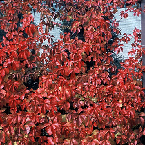 Red Wall® - Virginia creeper - Parthenocissus quinquefolia