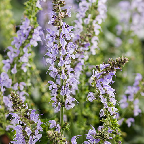 color spires 39 crystal blue 39 perennial salvia salvia nemorosa proven winners. Black Bedroom Furniture Sets. Home Design Ideas