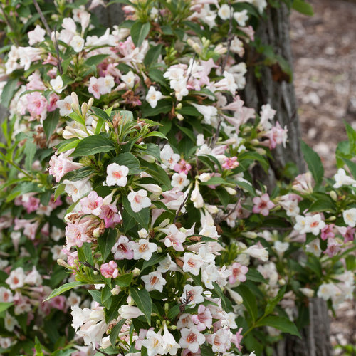 Sonic Bloom® Pearl - Reblooming Weigela - Weigela florida