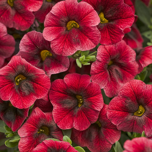 Superbells pomegranate punch calibrachoa hybrid - Calibrachoa superbells ...