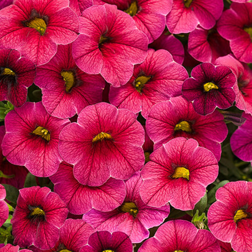 Superbells cherry red calibrachoa hybrid proven winners - Calibrachoa superbells ...