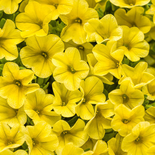 Superbells yellow calibrachoa hybrid proven winners - Calibrachoa superbells ...