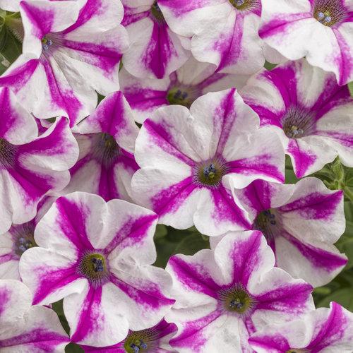 Supertunia® Lovie Dovie™ - Petunia hybrid