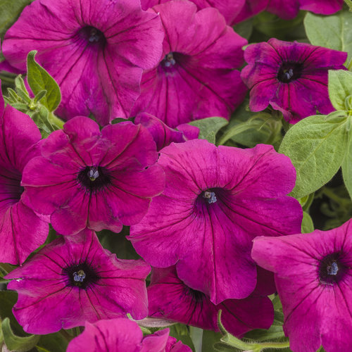Supertunia® Royal Magenta™ - Petunia hybrid