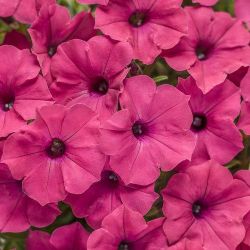 Supertunia Vista® Fuchsia - Petunia hybrid