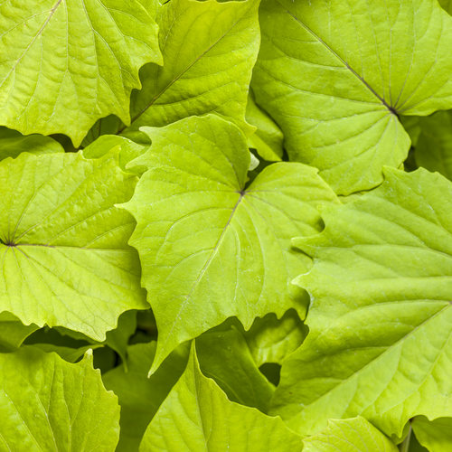 Sweet Caroline Bewitched Green with Envy™ - Sweet Potato Vine - Ipomoea batatas